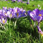 Cách trồng hoa nghệ tây để làm saffron có khó không?
