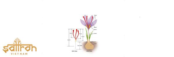 Giá trị của Saffron phụ thuộc vào chiều dài sợi saffron
