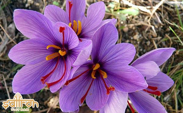 Hoa nghệ tây thuộc họ Diên Vĩ, hoa có màu tím đặc trưng