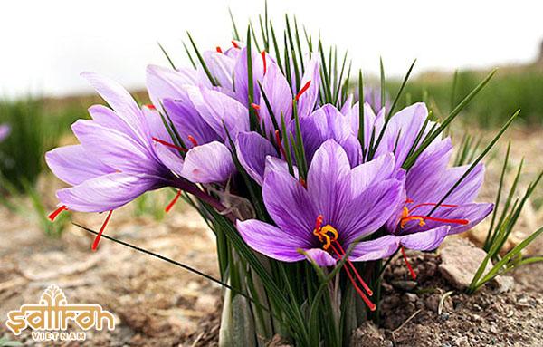 Mỗi bông hoa nghệ tây có 3 - 4 nhụy hoa.