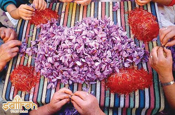 Nhụy hoa nghệ tây Iran chiếm 80% sản lượng saffron thế giới