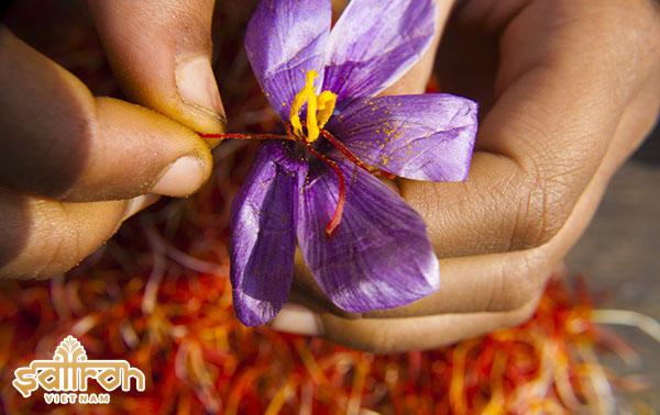 Nhụy hoa nghệ tây của Iran chiếm 80% sản lượng thế giới