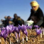 Thu hoạch nhụy hoa nghệ tây