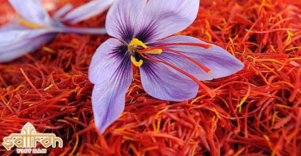 Cách trồng hoa nghệ tây để lấy saffron