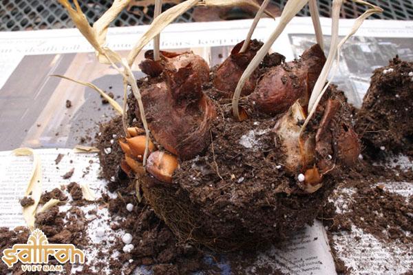 Củ hoa nghệ tây