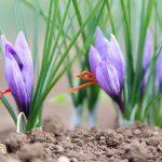 Hướng dẫn chọn giống nghệ tây tốt và gieo trồng đúng cách