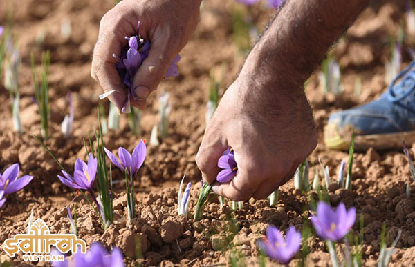 Thu hoạch saffron từ cây hoa nghệ tây