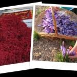 3 cách phân biệt nhụy hoa nghệ tây thật giả