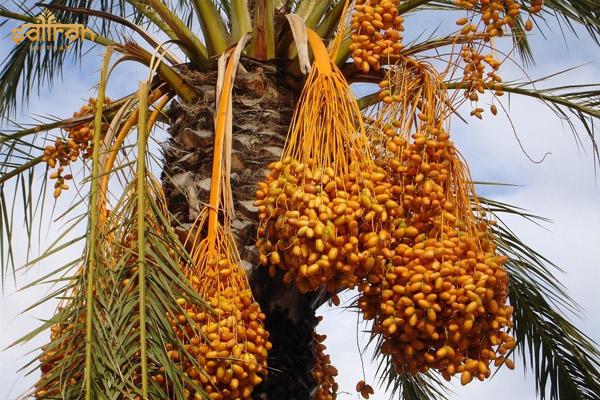 Chà là là đặc sản của vương quốc Dubai xa hoa