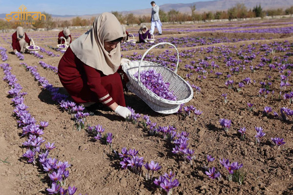 Việc thu hoạch saffron hoàn toàn thủ công