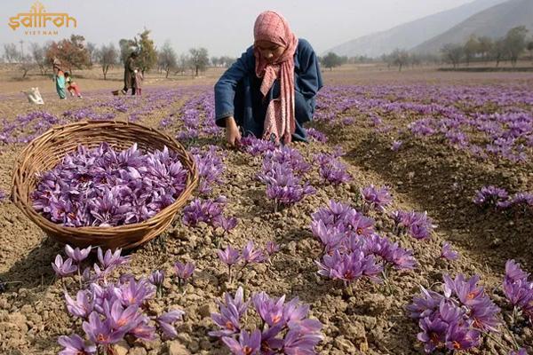 Công đoạn làm ra nhụy hoa nghệ tây khô cần sự tỉ mỉ và kiên nhẫn trong suốt quá trình làm việc