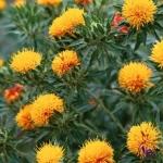 Nhụy hoa hồng Tây Tạng là gì? Tại sao dễ bị nhầm lẫn với saffron?