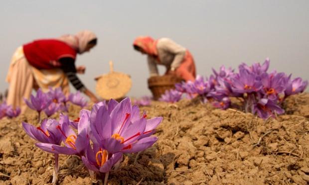 saffron cao cap