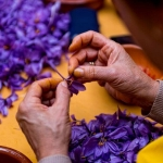 Gi叩 saffron 畉� �畛� N棚n l畛� ch畛� saffron 畉� �畛�hay Saffron Iran