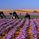 T畉� t畉� t畉� v畛�saffron T但y Ban Nha, n棚n ch畛� saffron T但y Ban Nha hay saffron Iran?