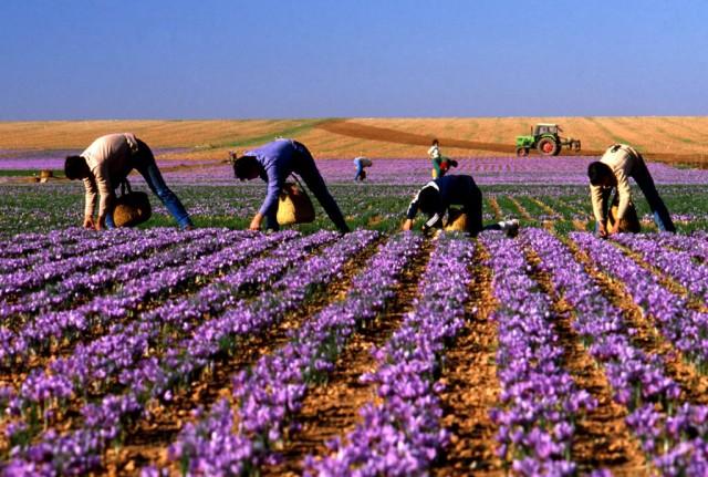 saffron Tây Ban Nha