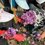 Nhụy hoa nghệ tây Ấn Độ có tốt không?