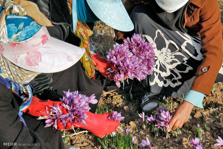 Nhụy hoa nghệ tây Ấn Độ