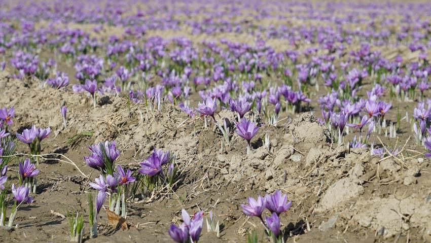 Saffron Jahan Iran là gì?