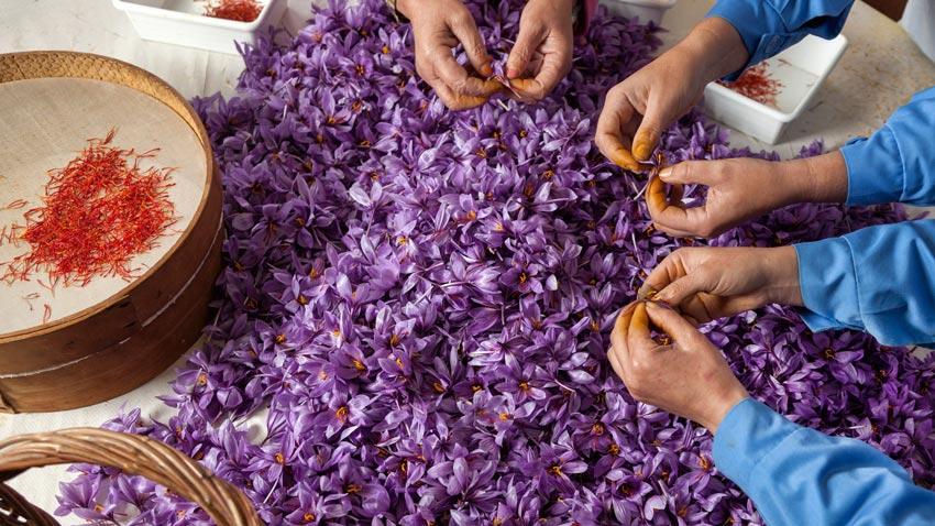 Saffron �畛�